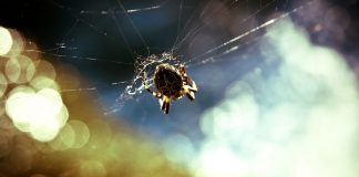 L'araignée de Lorenzo